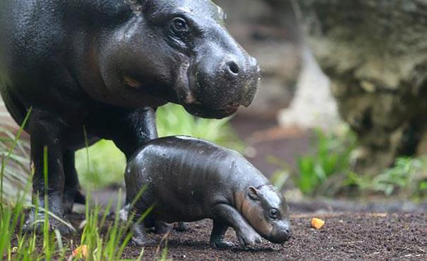 cute-baby-pygmy-hippopotamus-obi-melbourne-zoo-australia-4