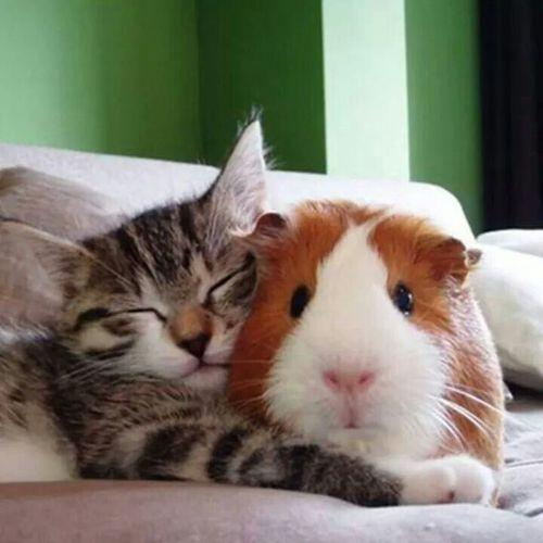 macska, tengerimalac