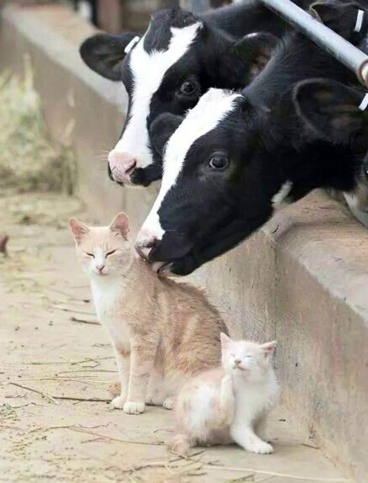 szarvasmarha, macska