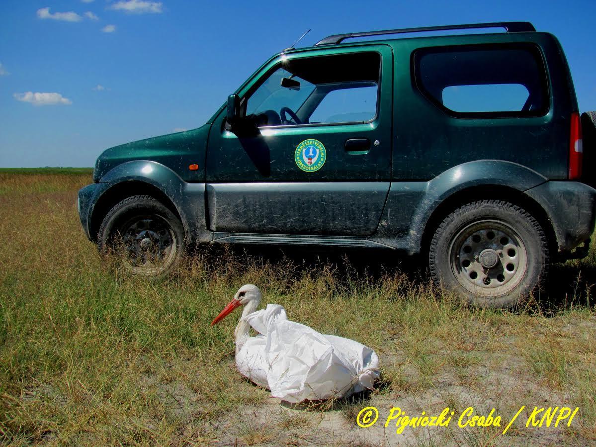gólya, fehér gólya