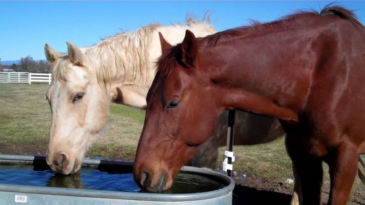 horse_drinking