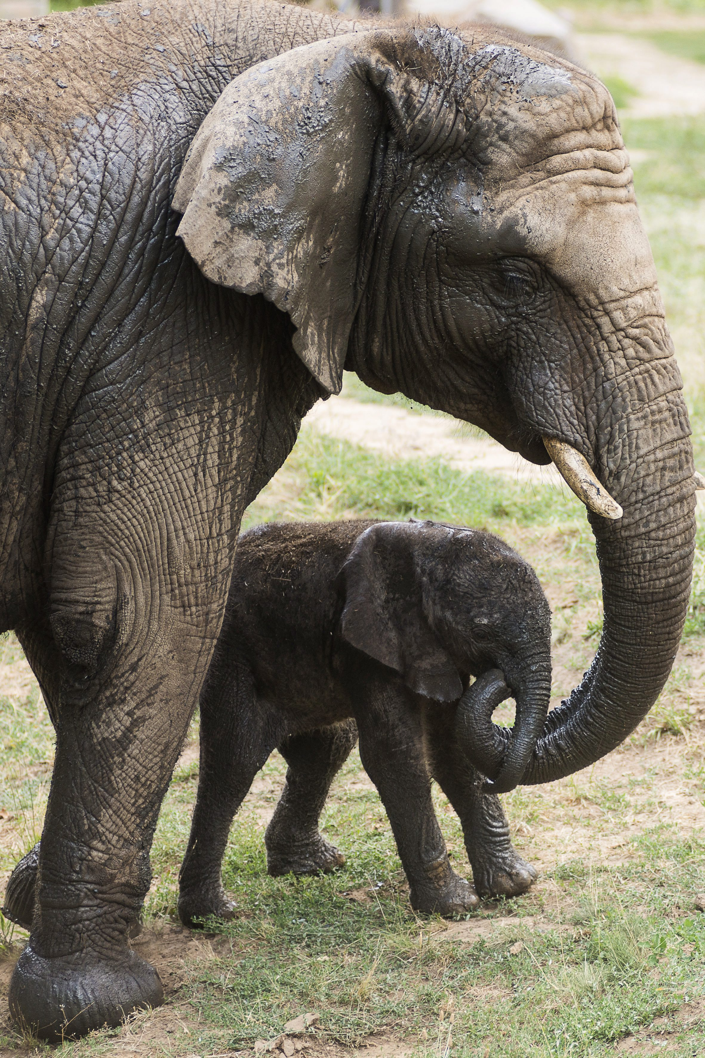Elefántbika született a Nyíregyházi Állatparkban