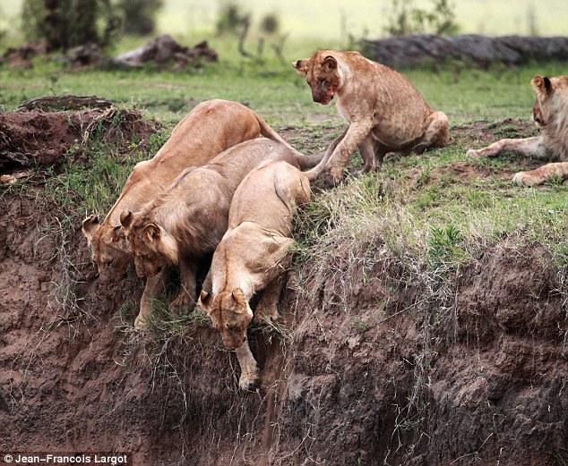 lions2