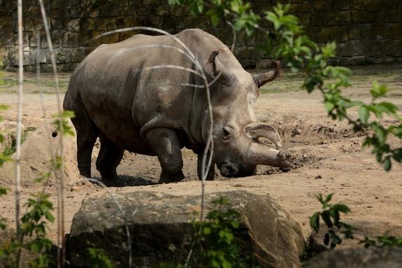 nabire-rhino-dvur-kralove-zoo
