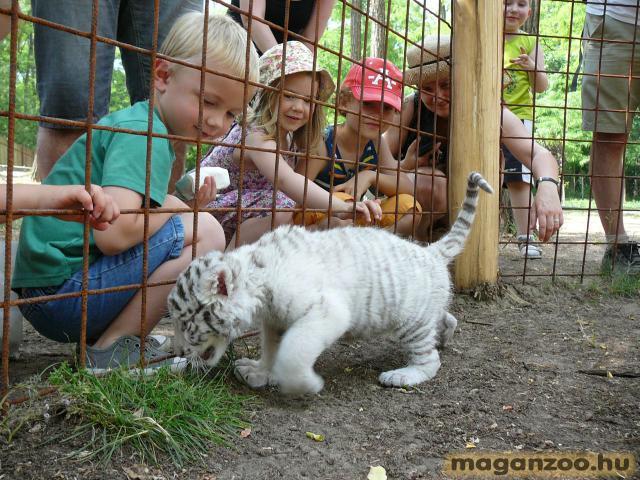 tigris_4