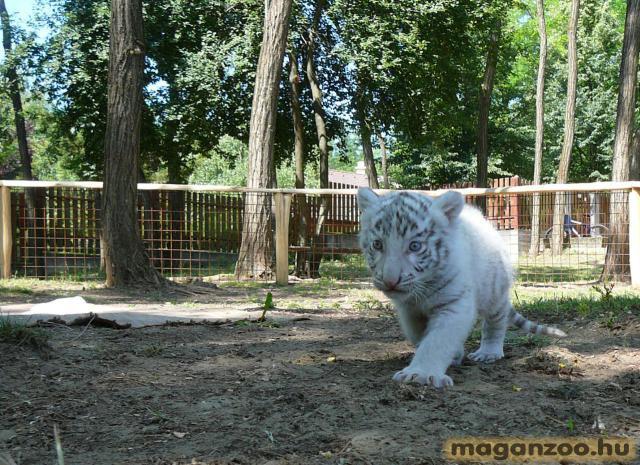 tigris_7