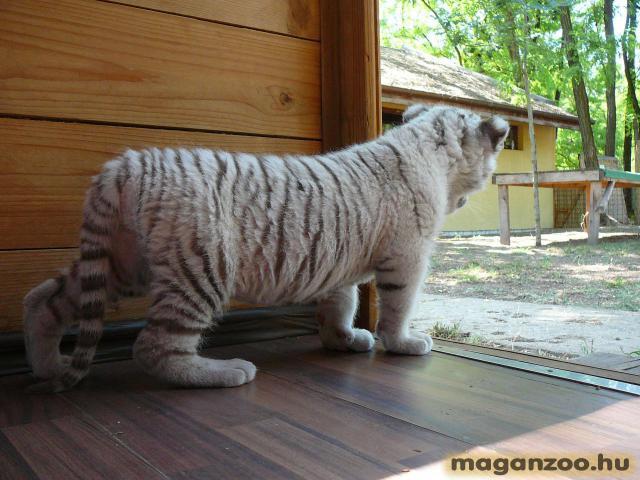 tigris_8