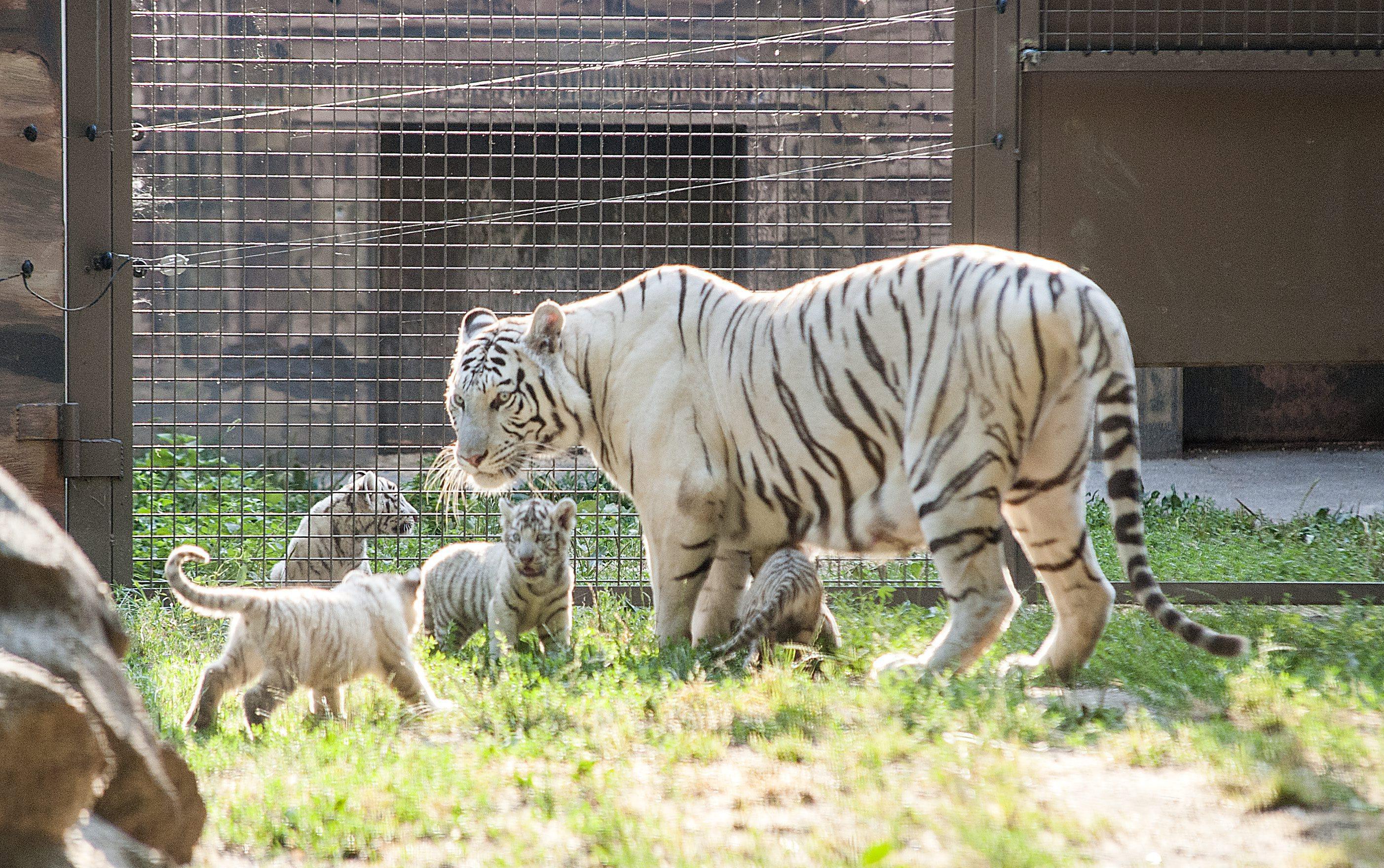 Gyõr, 2015. július 24. Bengáli tigriskölykök anyjukkal a gyõri Xantus János Állatkertben 2015. július 24-én. A négy kistigris május végén született. MTI Fotó: Krizsán Csaba