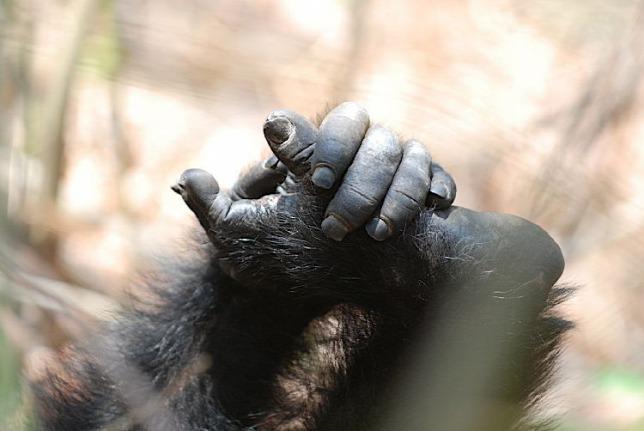 20150715csimpanz