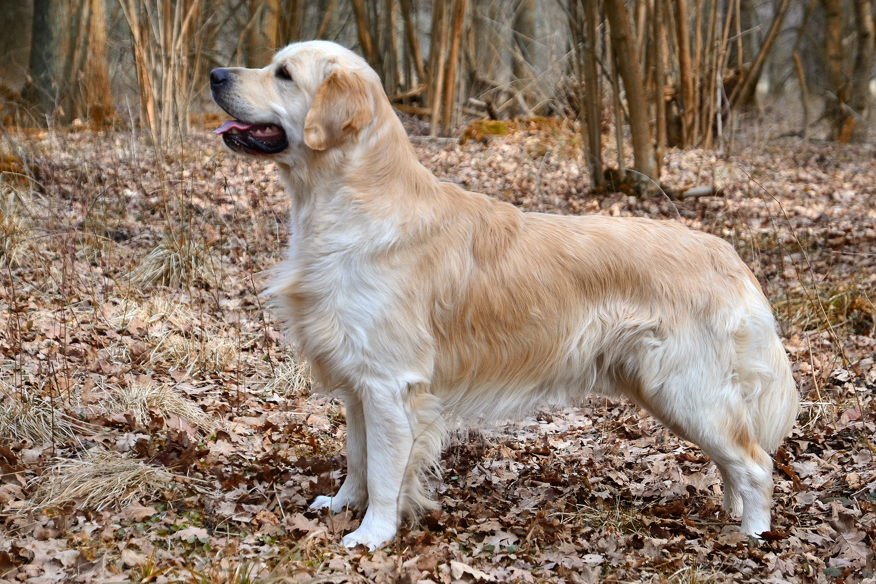 Golden_retriever_stehfoto