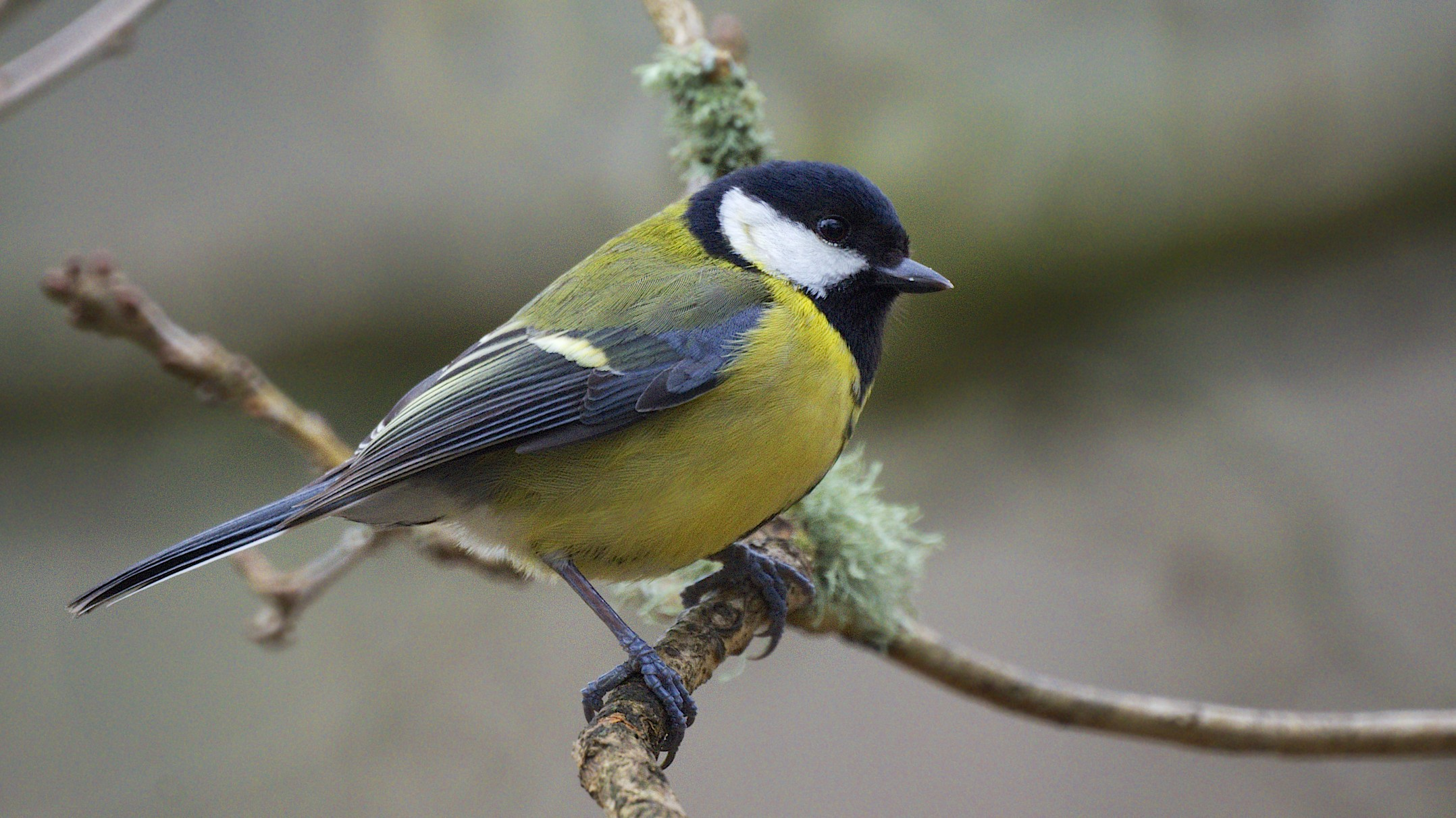 Great_Tit_(8501110836)