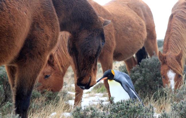 Horsey-penguin-650x415