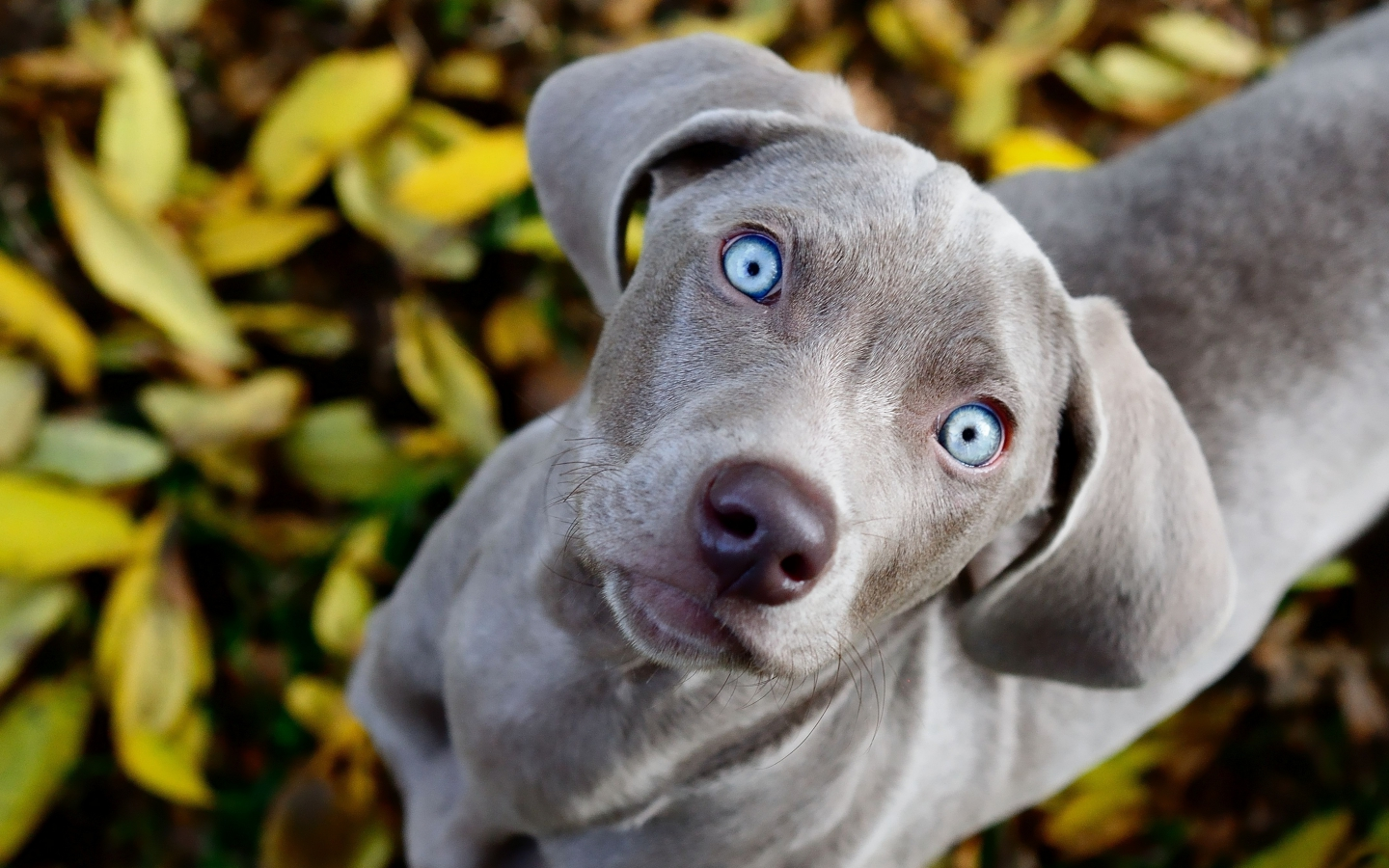 adorable-grey-dog-graphic