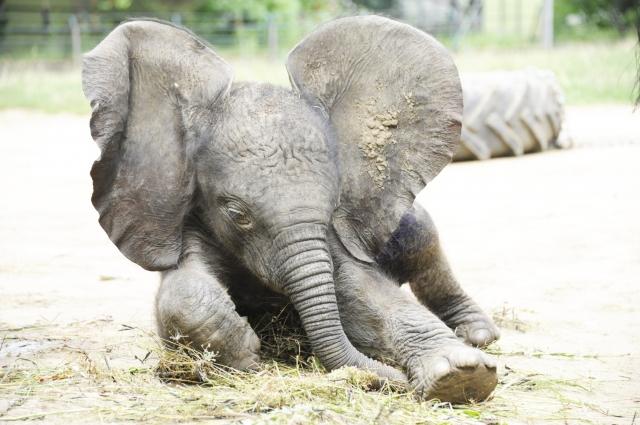 afrikai elefánt bébi