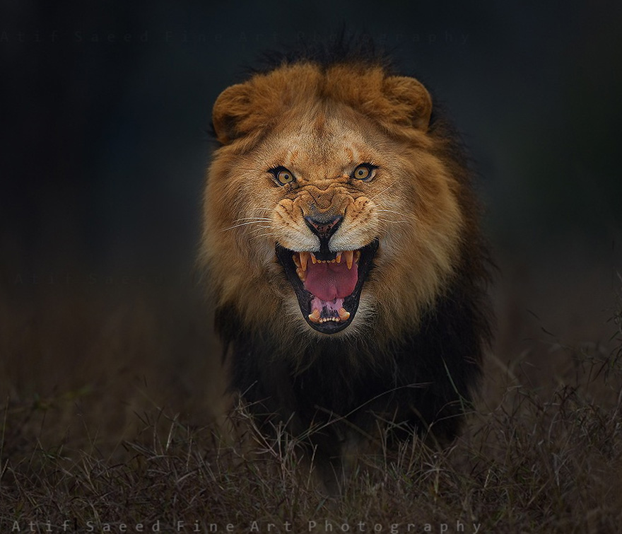 lion-attack-photo-portrait-wildlife-photography-atif-saeed-4