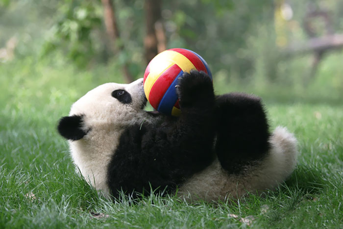 panda-daycare-nursery-chengdu-research-base-breeding-6