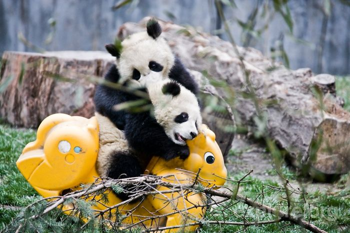 panda-daycare-nursery-chengdu-research-base-breeding-7