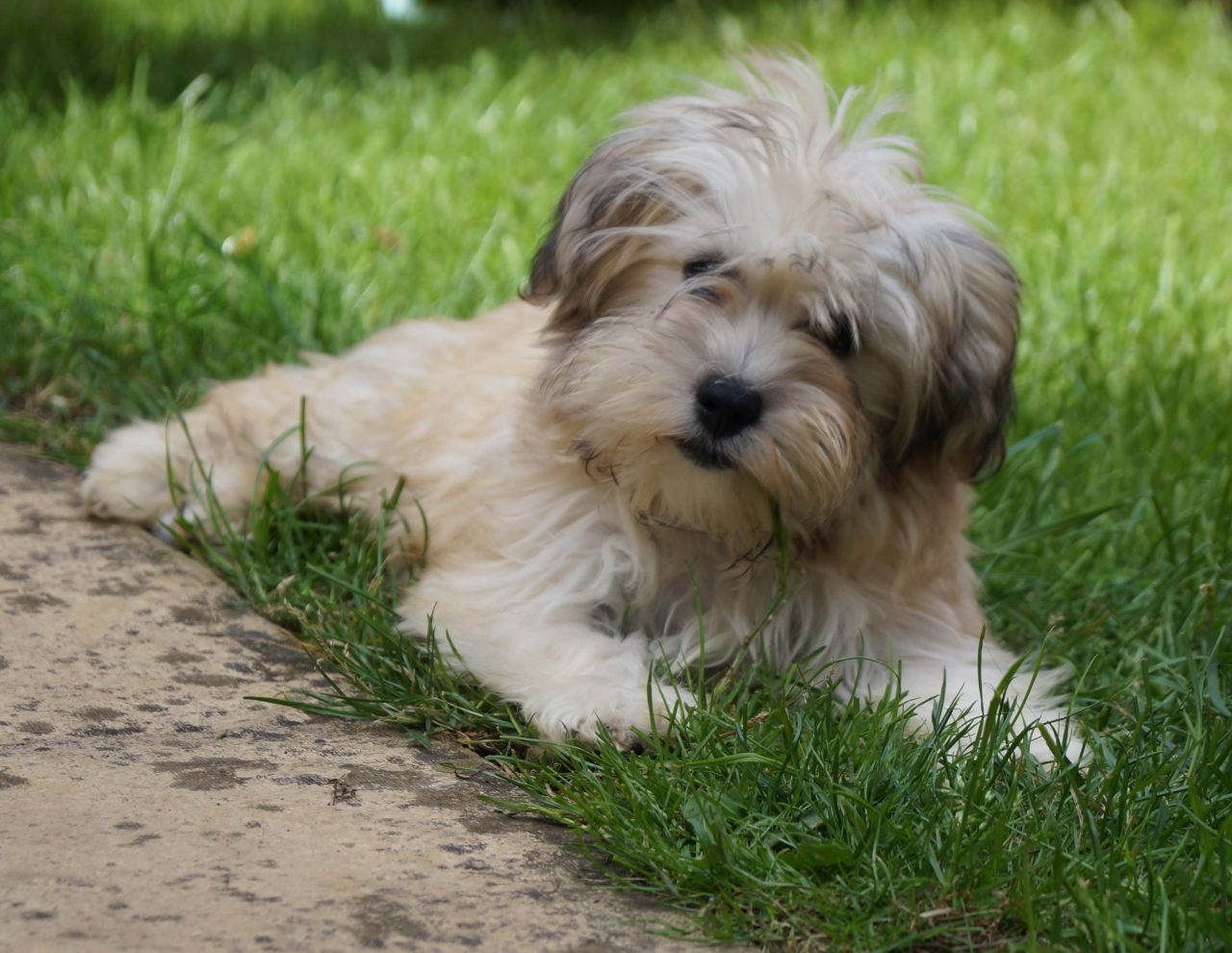 pure-breed-havanese-puppy-boy-for-sale-5391e90333e60 (1)