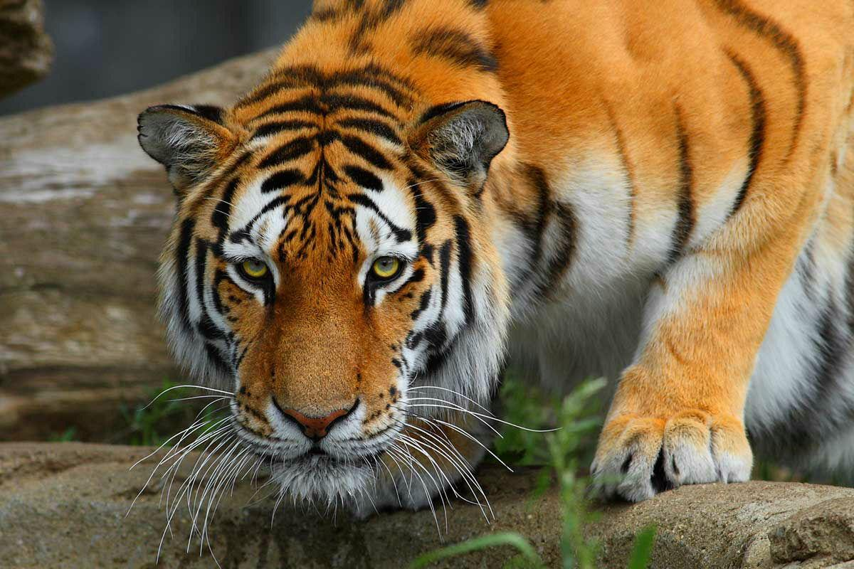 royal_bengal_tiger-903585