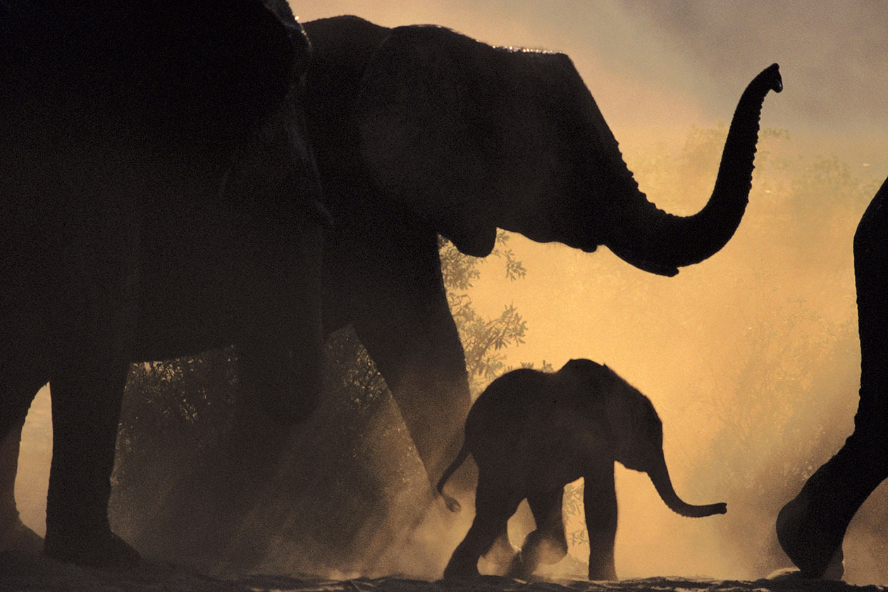 Chobe National Park, Botswana --- African elephant (Loxodonta africana) and young in the Chobe National Park, Botswana. --- Image by © Frans Lanting/Corbis