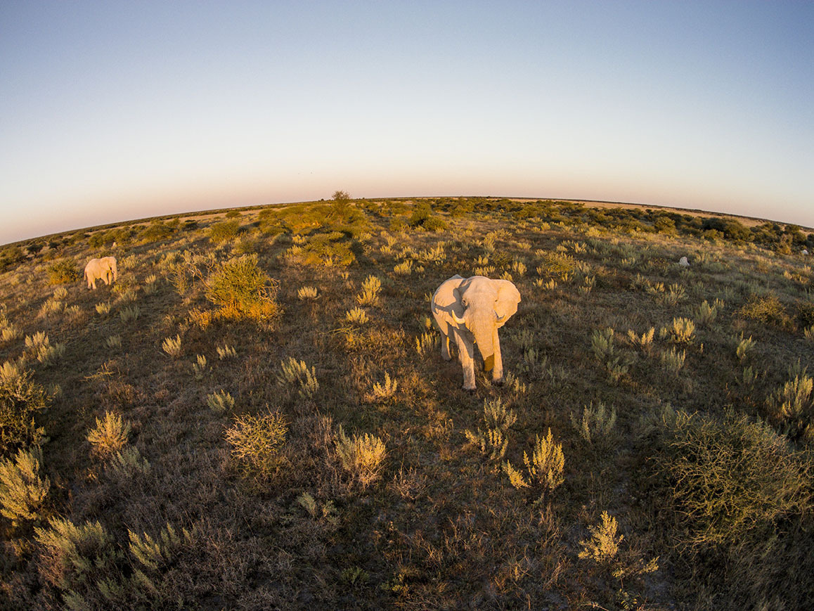 01 Jun 2014, Nxai Pan National Park, Botswana --- Africa, Botswana, Nxai Pan National Park, Aerial view of Bull Elephant (Loxodonta africana) in Kalahari Desert at sunset --- Image by © Paul Souders/Corbis
