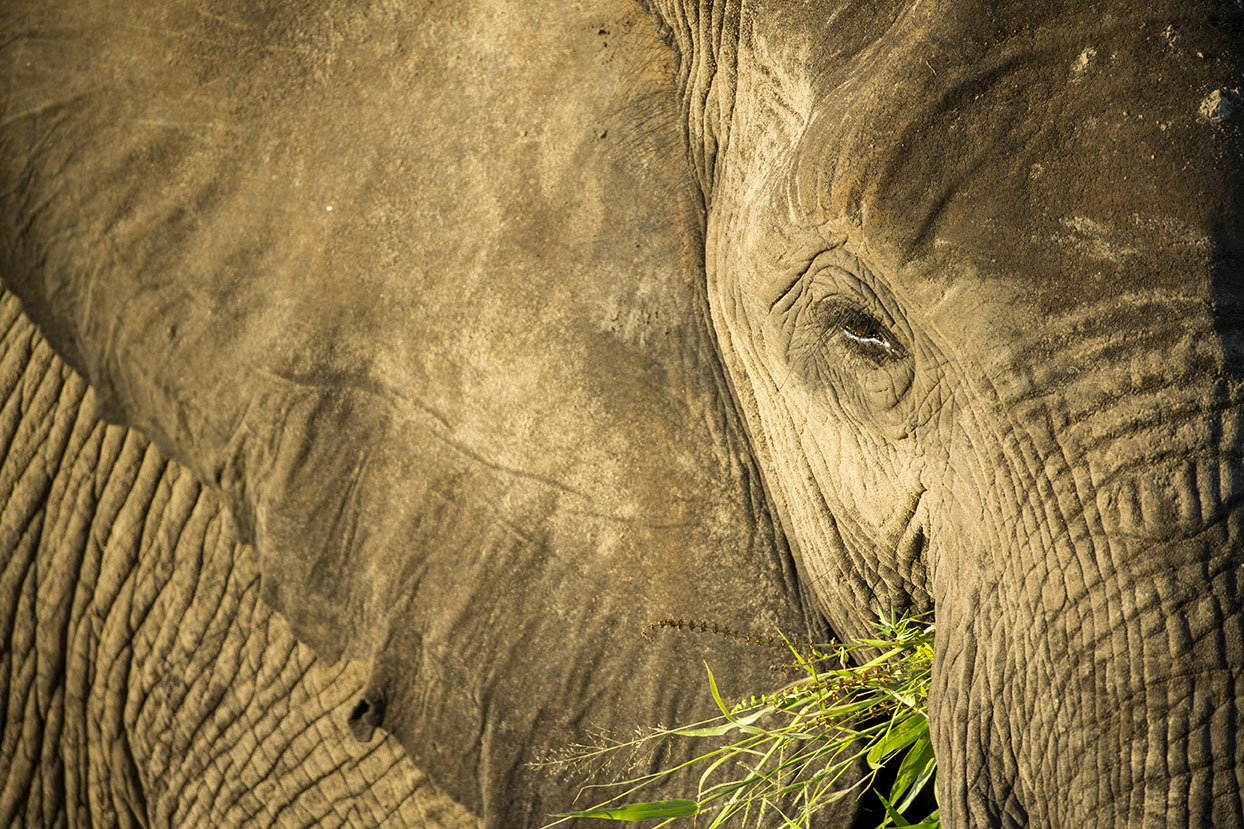 15 Feb 2015, Chobe National Park, Botswana --- Africa, Botswana, Chobe National Park, African Elephant (Loxodonta africana) feeding on grassy banks of Chobe River at sunset --- Image by © Paul Souders/Corbis