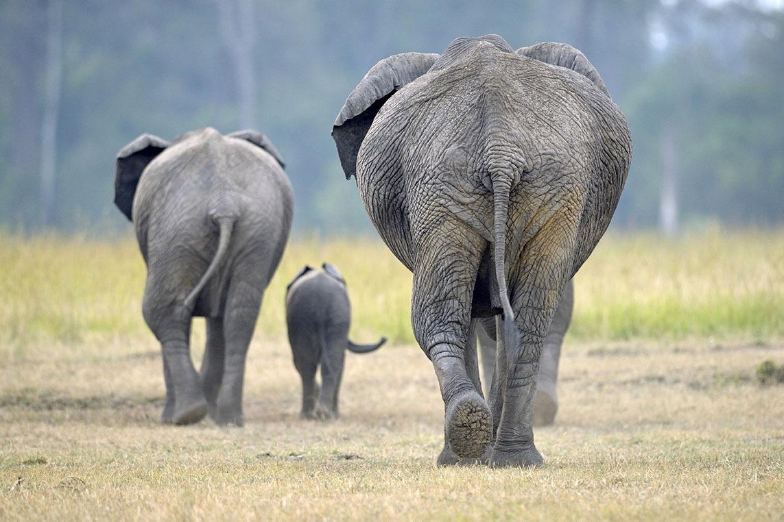 15 Feb 2014, Maasai Mara, Kenya --- Kenya, Masai Mara Reserve, African Elephant (Loxodonta africana), and young family back in the forest --- Image by © DELFINO Dominique/Hemis/Corbis