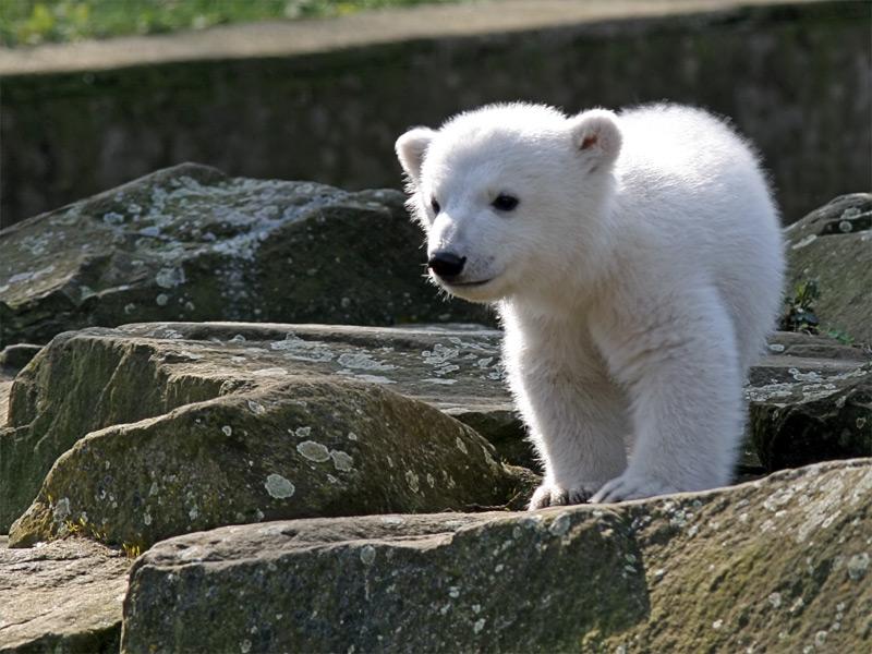 Knut, jegesmedve