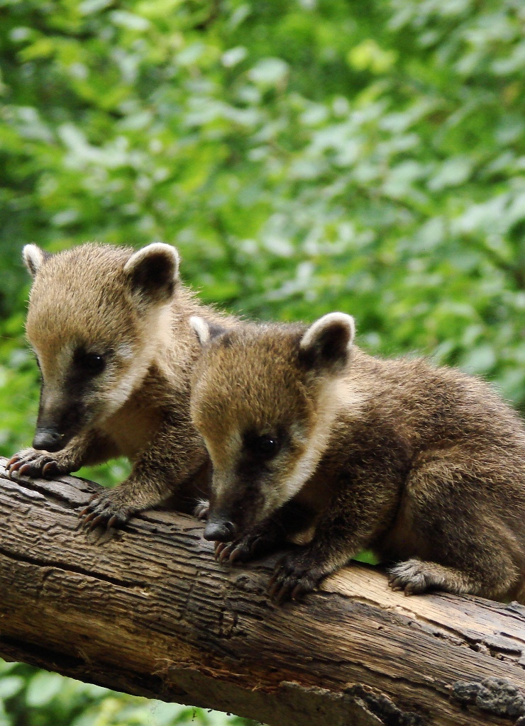 coati_kolykok_1_copyright_komposcsaba