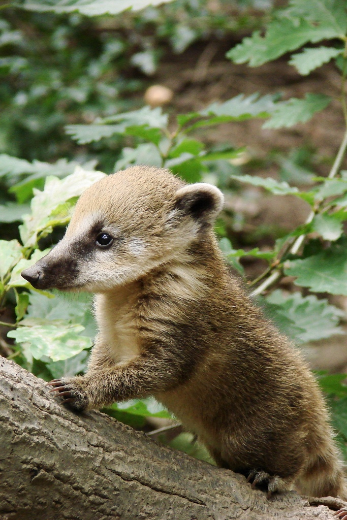 coati_kolykok_2_copyright_komposcsaba