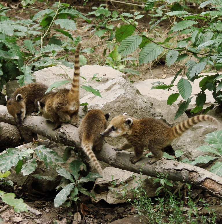 coati_kolykok_3_copyright_komposcsaba