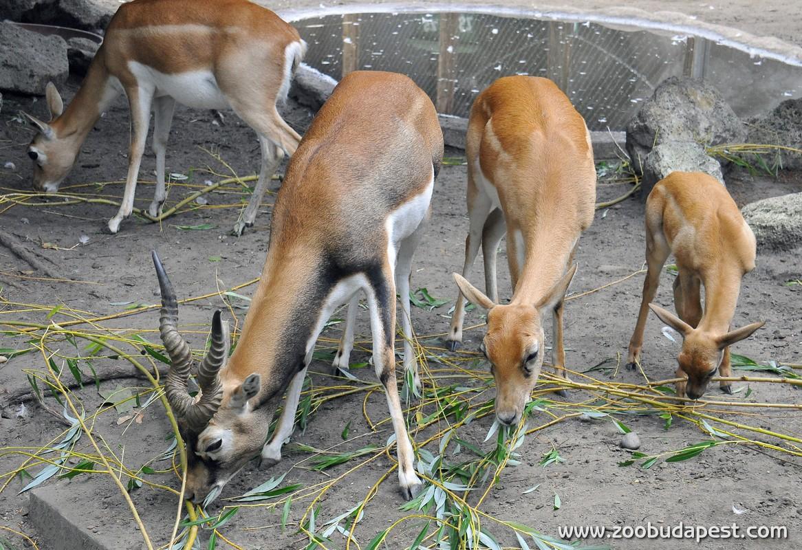 indiai antilop01 foto Bagosi Zoltan