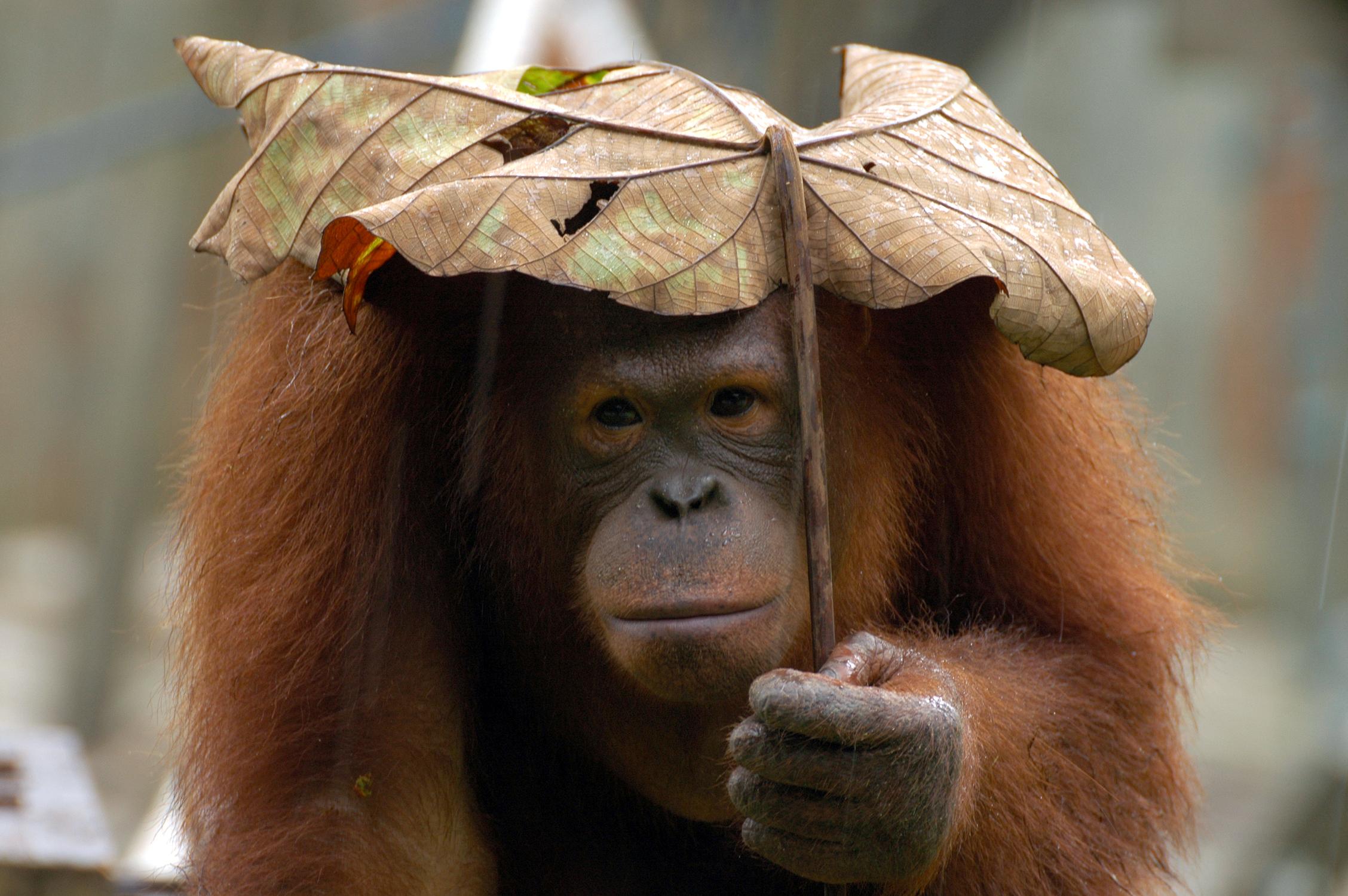 orangutan-02