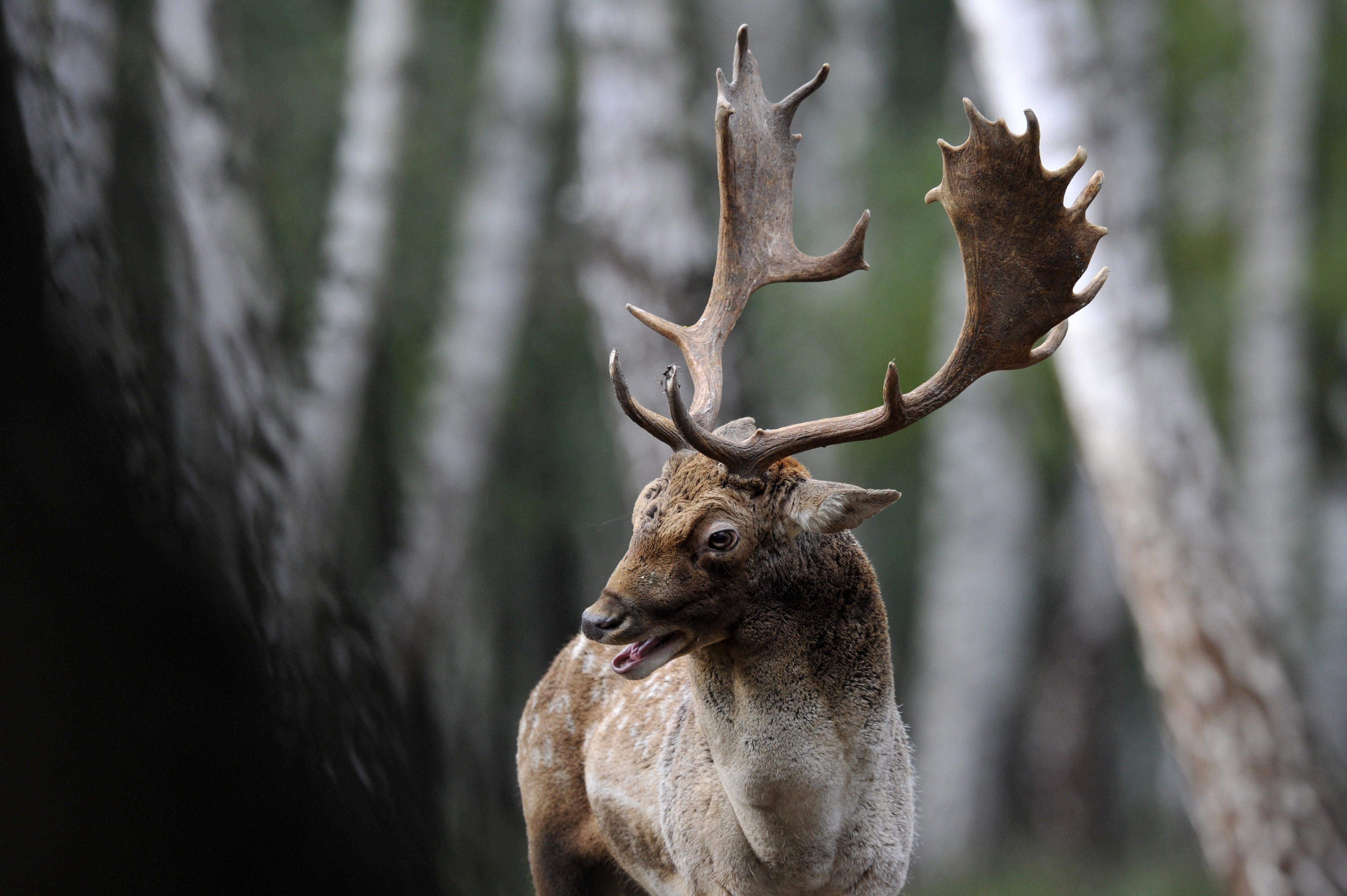 Barcs, 2015. október 22. Dámszarvas (Dama dama) bika a SEFAG Zrt. barcsi erdészetének területén 2015. október 20-án. Október elejétõl november közepéig tart a dámvadak párzása, üzekedése, azaz barcogása. MTI Fotó: Kovács Attila