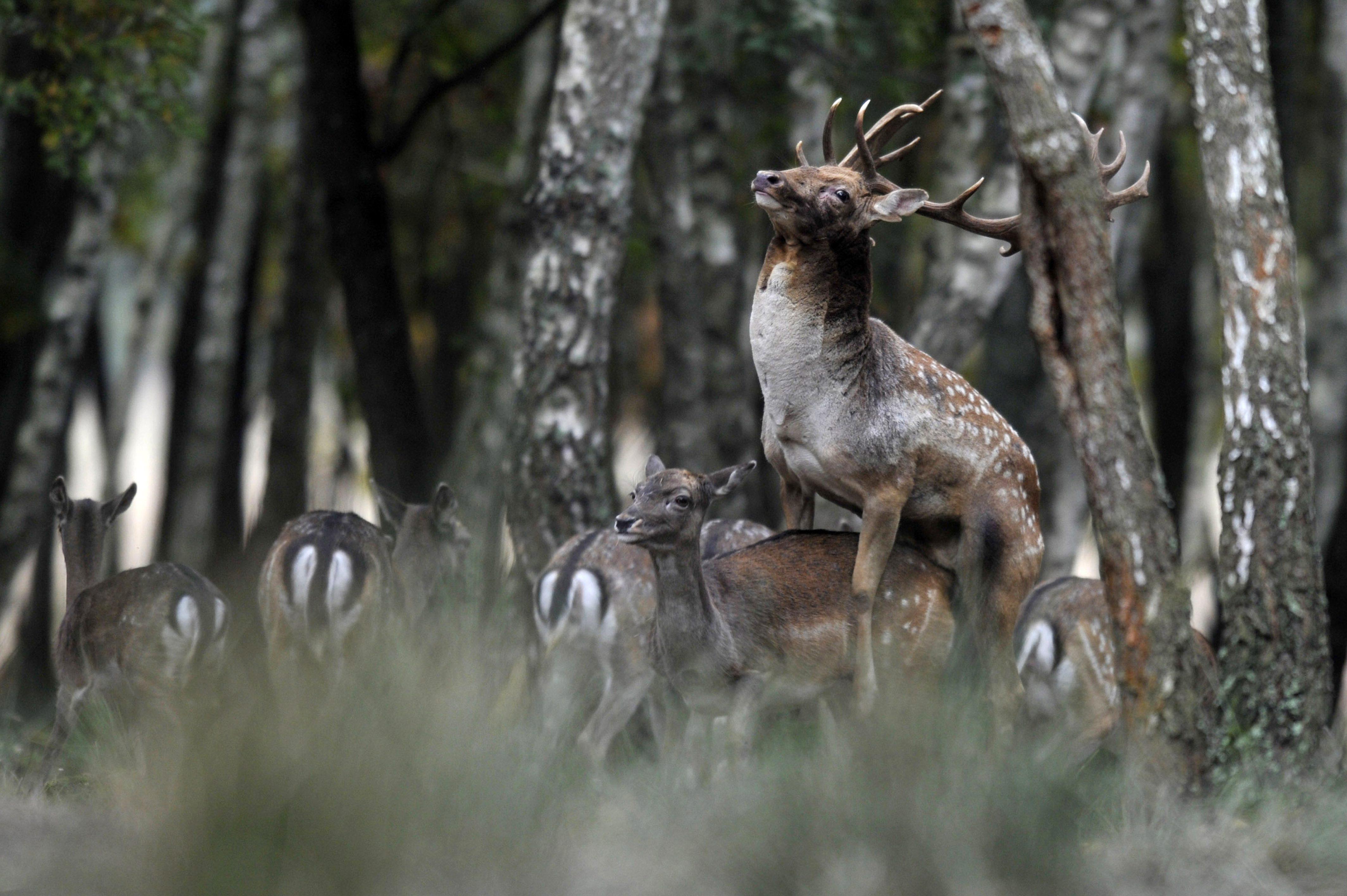 Barcs, 2015. október 22. Dámszarvas (Dama dama) bika borít egy tehenet a SEFAG Zrt. barcsi erdészetének területén 2015. október 18-án. Október elejétõl november közepéig tart a dámvadak párzása, üzekedése, azaz barcogása. MTI Fotó: Kovács Attila