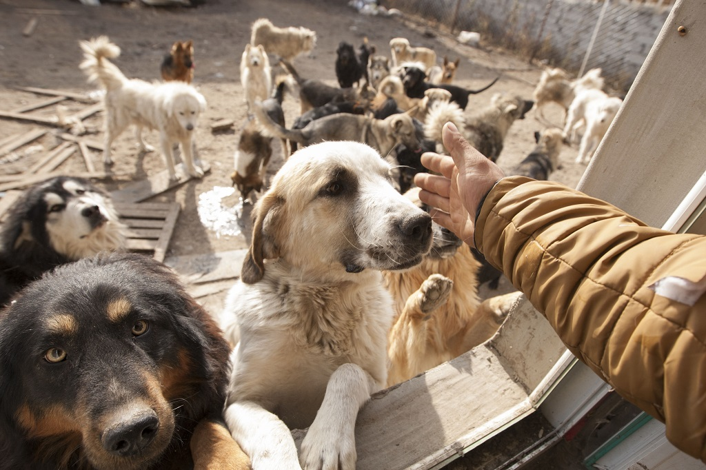"Former Chinese millionaire man Wang Yan strokes dogs which were saved by him from the slaughterhouse at his animal rescue center in Changchun city, northeast China's Jilin province, 17 November 2015. In order to save hundreds of dogs from the slaughterhouse, a former Changchun millionaire has gone broke founding an animal rescue center that helps to find local strays a loving home. 29-year-old Wang Yan, from Gelong town in Jilin province, once had a net worth of several million yuan. But he has since given it all away, in a journey that started one day in 2012 when his beloved pet pooch went missing. ""I went looking everywhere, but all to no avail,"" he remembers. ""Finally someone let me go into the slaughterhouse to try my luck there."" According to Sina News, Wang hung around the slaughterhouse for a week, but was unable to find his lost dog. Instead, he found scenes of bloody slaughter that he was unable to shake from his mind. After that experience, Wang used his fortune to buy the slaughterhouse and establish an animal shelter inside an abandoned steel factory. Over time, he gradually built up the shelter, finding more and more homes for strays. ""Right now, we only have 215 dogs,"" he said. ""The most we've had at one time is 1,000, many of them have been adopted."""