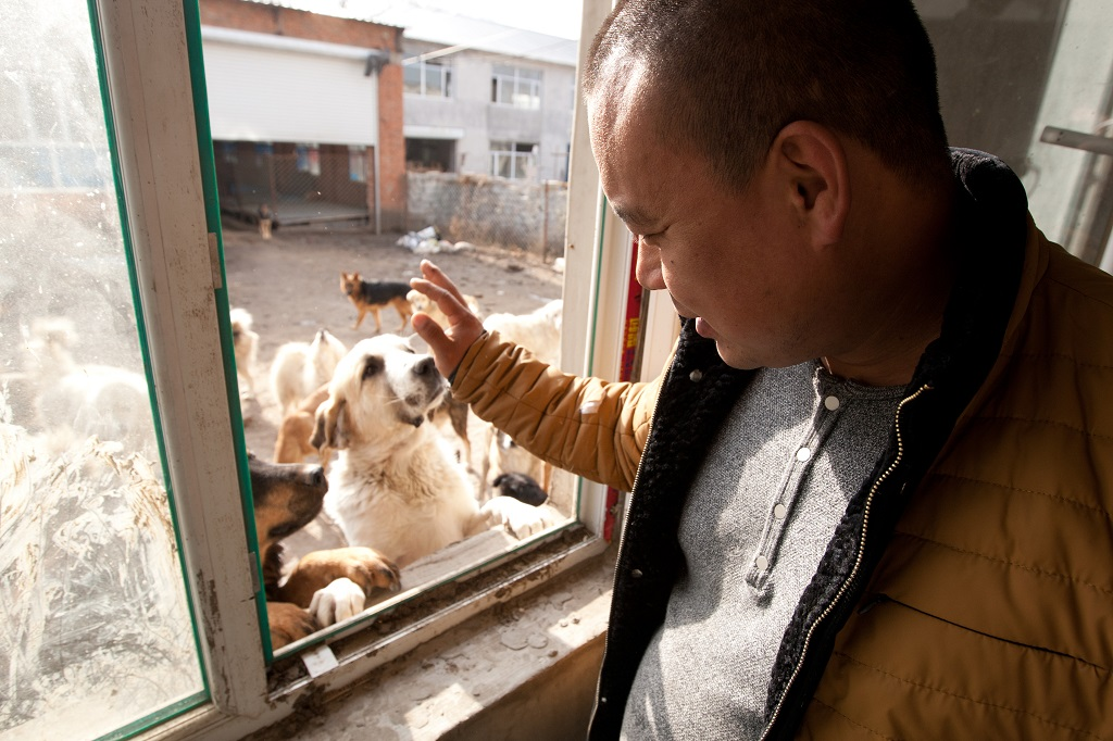 "Former Chinese millionaire man Wang Yan waves to dogs which were saved by him from the slaughterhouse at his animal rescue center in Changchun city, northeast China's Jilin province, 17 November 2015. In order to save hundreds of dogs from the slaughterhouse, a former Changchun millionaire has gone broke founding an animal rescue center that helps to find local strays a loving home. 29-year-old Wang Yan, from Gelong town in Jilin province, once had a net worth of several million yuan. But he has since given it all away, in a journey that started one day in 2012 when his beloved pet pooch went missing. ""I went looking everywhere, but all to no avail,"" he remembers. ""Finally someone let me go into the slaughterhouse to try my luck there."" According to Sina News, Wang hung around the slaughterhouse for a week, but was unable to find his lost dog. Instead, he found scenes of bloody slaughter that he was unable to shake from his mind. After that experience, Wang used his fortune to buy the slaughterhouse and establish an animal shelter inside an abandoned steel factory. Over time, he gradually built up the shelter, finding more and more homes for strays. ""Right now, we only have 215 dogs,"" he said. ""The most we've had at one time is 1,000, many of them have been adopted."""