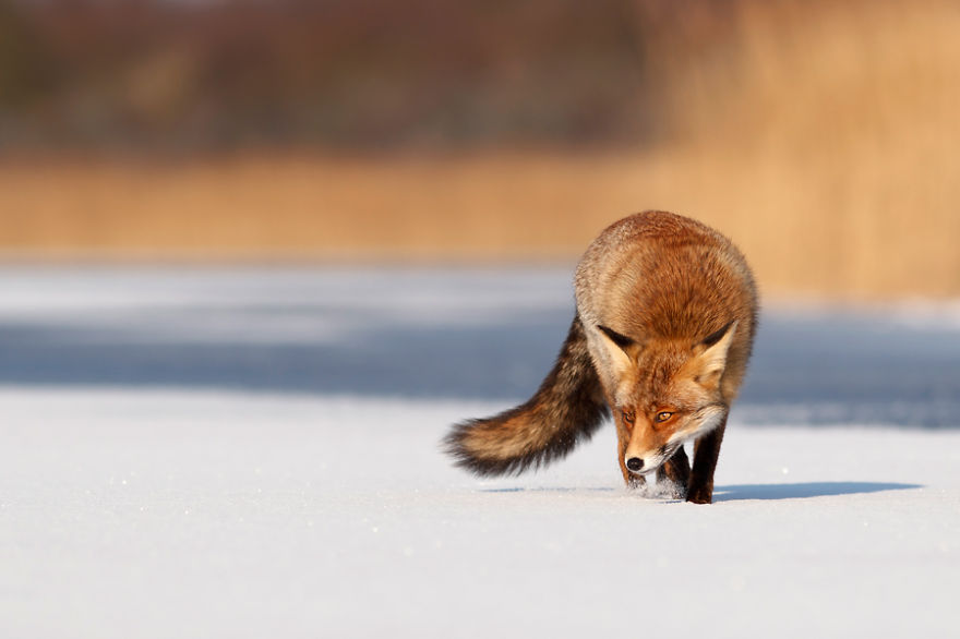 Red fox (vulpes vulpes) crossing a frozen lake on a cold and  sunny winter day.