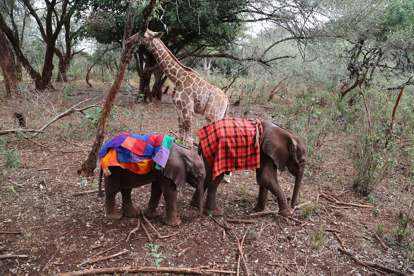 Image #: 40391323    *** EXCLUSIVE - VIDEO AVAILABLE ***  NAIROBI, KENYA - OCTOBER 19: Kiko the baby giraffe goes for a stroll with his new friends on October 19, 2015 in Nairobi, Kenya.  A BABY giraffe and an infant elephant have become best friends after being rescued by a wildlife charity. Filmed in October, this heart warming footage shows Kiko, a one month old rescued giraffe, playing with fellow orphan Loboito ñ a boisterous three week old elephant calf. The pair are being cared for at the David Sheldrick Wildlife Trustís Orphanage in Nairobi National Park. Kiko, who was found abandoned in Kenya's Meru National Park, sleeps in the stables next to the baby elephants as he is too small to sleep in the giraffe stable. And Loboito, who was found alone and hungry in Samburu, Kenya, loves spending time under the long legs of his new buddy.  Barcroft Media /Landov