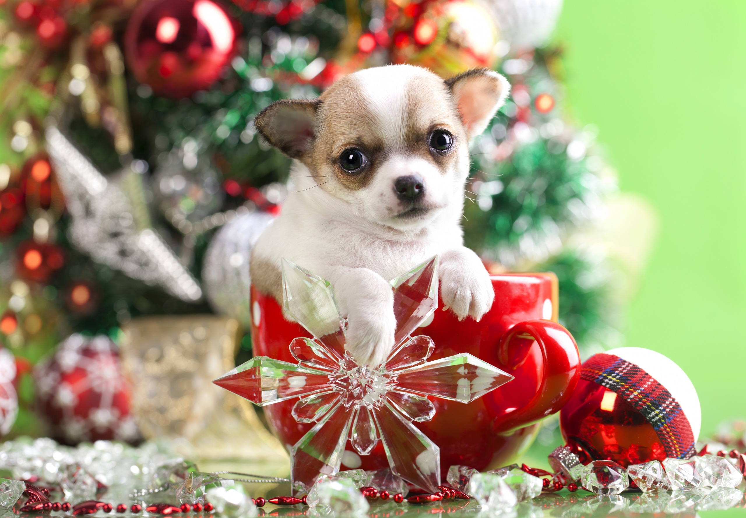 Dogs_Christmas_Chihuahua_458013
