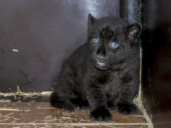 Black jaguar (Panthera onca) cub in house