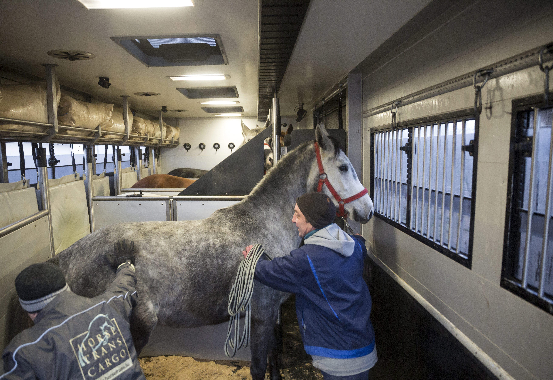 Üllõ, 2016. január 29. Kínai exportra felkészített lovak egy lószállító jármûvön a Szent István Egyetem Állatorvos-tudományi Kar Dóra majori Tangazdaságában 2016. január 29-én. Közel egyéves elõkészítést követõen ezen a napon megkezdõdött a magyar tenyész- és versenylovak szállítása Kínába. Elõtérben: Lázár András állatgondozó. MTI Fotó: Mohai Balázs