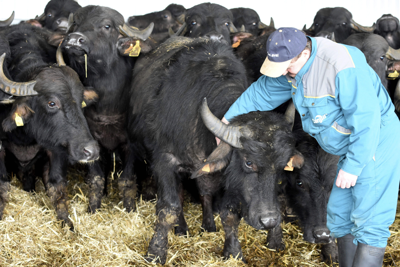 Mezõtúr, 2016. március 8. Takács Lajos gondozó mediterrán olasz fajtájú bivalyokkal Mezõtúr határában, az Italiagro Kft. telepén 2016. március 8-án. Az észak-olaszországi Cremona megyébõl érkezett állatok az elsõ ellésüket követõen, körülbelül 3-4 hónap múlva adnak majd tejet, amelybõl olasz mozzarella sajt és ricotta készül. MTI Fotó: Mészáros János