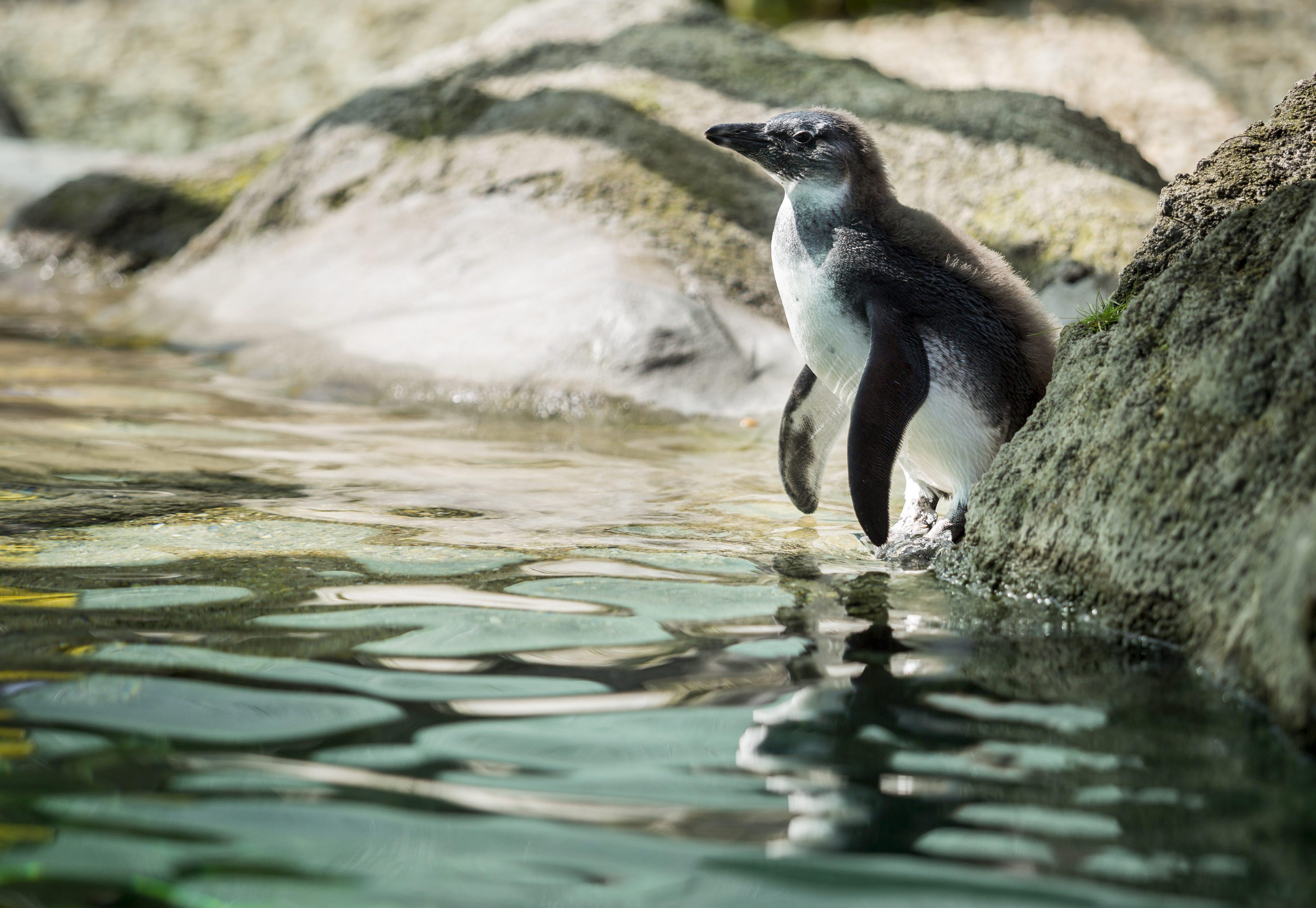Budapest, 2016. április 3. Skippy, a pingvinfióka bemutatkozóján a Fõvárosi Állat- és Növénykertben 2016. április 3-án. A fiókát január 6-i kikelése után egy darabig saját szülei nevelték, majd az utónevelési fázisban az állatgondozók gondoskodtak róla egy elkülönített pingvinnevelõ helyen. MTI Fotó: Mohai Balázs