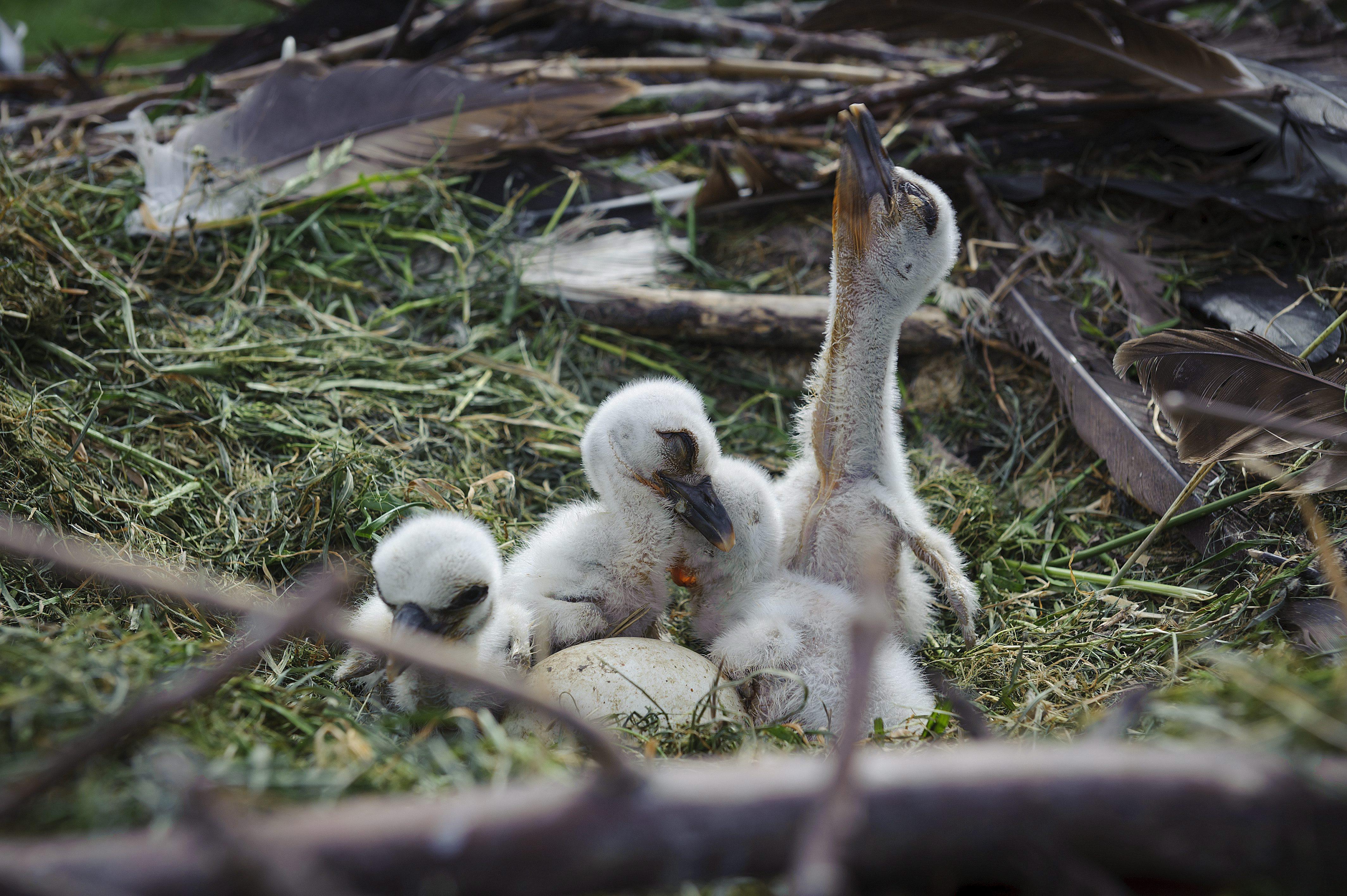 Hortobágy, 2016. május 14. A Hortobágyi Madárkórházban született gólyafiókák 2016. május 14-én. MTI Fotó: Czeglédi Zsolt