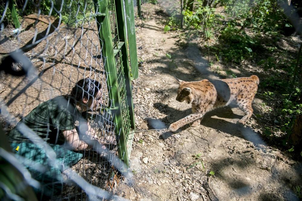 Pécs, 2016. április 21. Egy dolgozó játszik egy hiúzzal a május 20-án megnyíló pécsi állatkertben 2016. április 21-én. A régi létesítmény helyén kialakított új állatkertet mintegy 1,8 milliárd forintos beruházással alakították ki. A mûszaki átadás tavaly év végén megtörtént, folyamatosan költöztetik be az állatokat új helyükre. MTI Fotó: Sóki Tamás