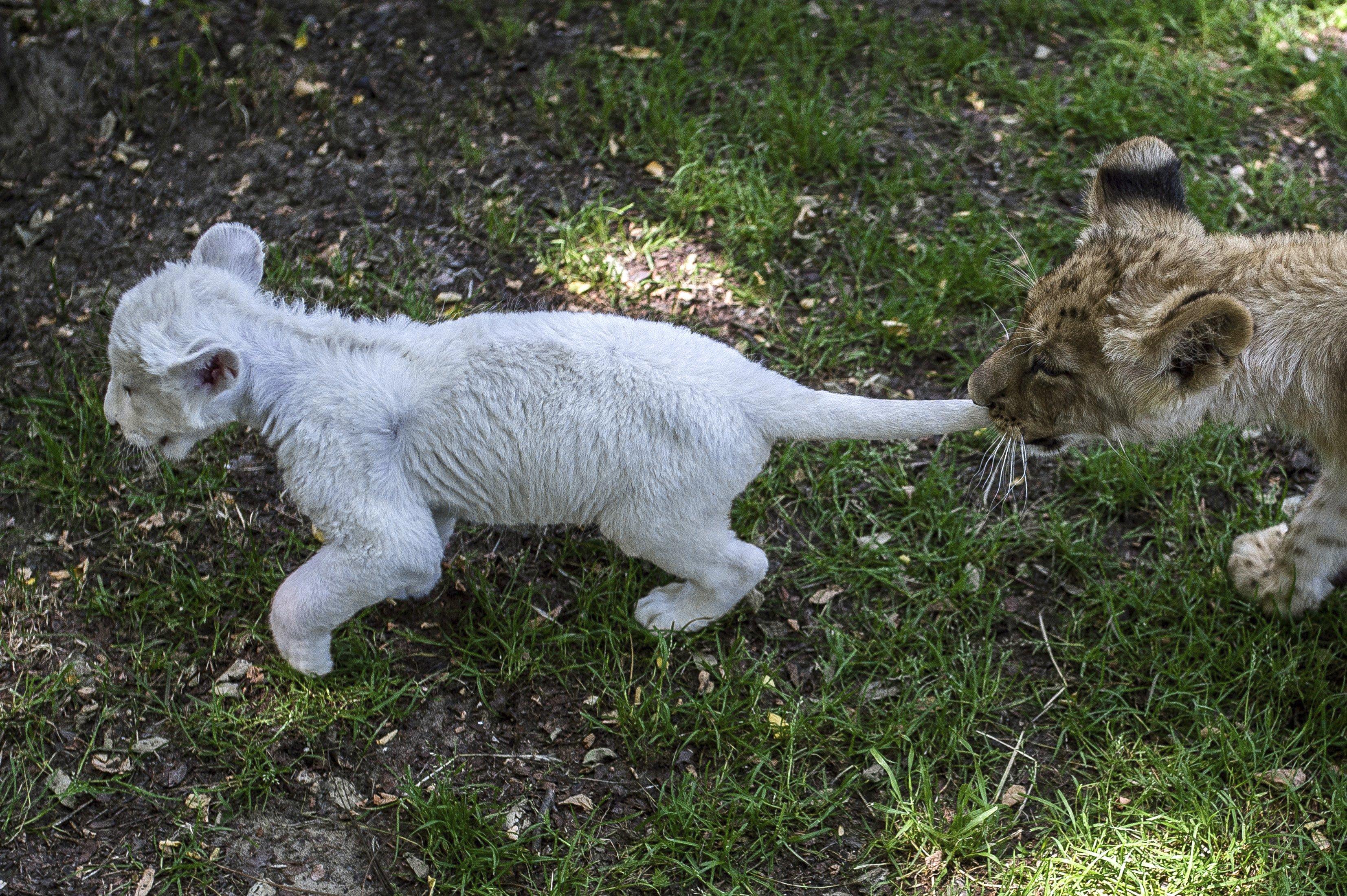 """Felsõlajos, 2016. június 30. Zahra, a négyhetes, nõstény fehéroroszlán és Cecil, a tizenkét hetes hím oroszlán játszik egymással a felsõlajosi Magán Zoo állatkertben 2016. június 30-án. Zahrát elutasította az anyja, Cecil pedig császármetszéssel jött a világra és a lassan gyógyuló anyja nem tudta táplálni, ezért mindketten csak állatkerti gondozó """"pótszülõk"""" segítségével maradhattak életben. Így most együtt nevelkednek. MTI Fotó: Ujvári Sándor"""