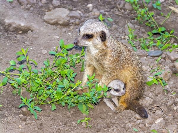 Meerkat or Suricate (Suricata suricatta) baby